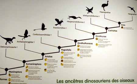 Partial cladogram showing the supposed evolutionary relationship between Deinonychus and modern birds