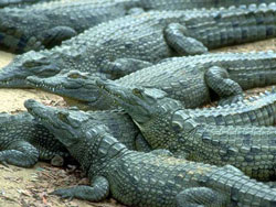 Image of crocodiles.