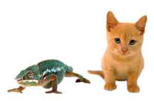 Chameleon and cat