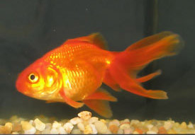 Picture of a gold fish