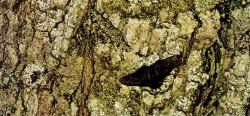 peppered moth 1