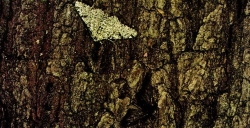 peppered moth 2