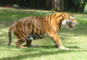 A zoo tiger growling