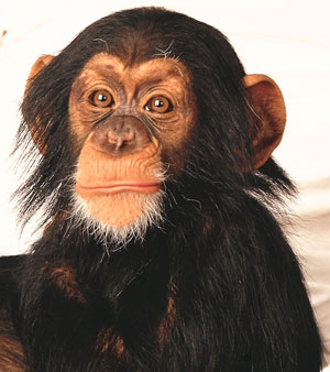 Picture of a young chimpanzee.