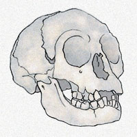 The skull of H. floresiensis.