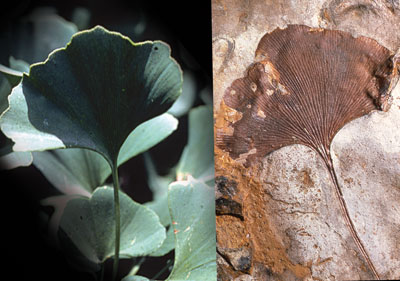 Ginkgo biloba fossil and living