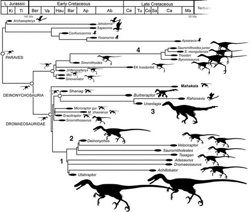Cladogram, assumed to be an evolutionary 'lineage' of birds and their supposed closest dinosaurian ancestors.