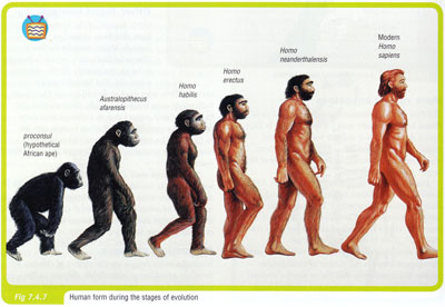 Ape progression