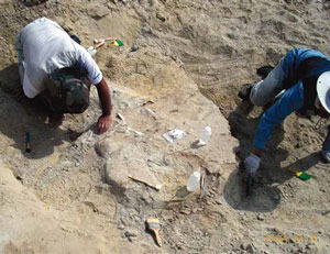 Scientists excavate skeleton of dinosaur
