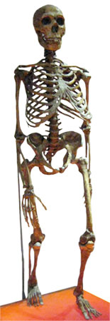 Neandertal skeleton