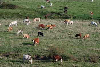 Herd of cows on faraway meadow