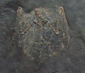 A fossil microbat from the Messel oil shale