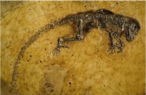 Fossil of Darwinius masillae