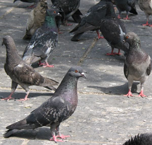 Pigeon experiments have always shown that variation has limits, so if anything they are evidence against Darwinism.