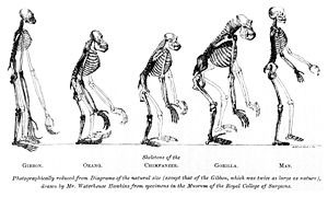 Thomas H. Huxley used illustrations in an attempt to demonstrate that humans and apes had the same basic skeletal structure