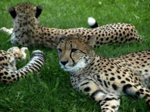 Cheetahs have descended from an original 'cat kind'.