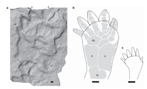 Figure 4. Laser scan of surface showing detail of individual print and diagram relating it to an animal's foot (from ref. 5).