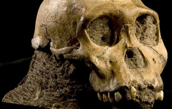 Sediba not human ancestor