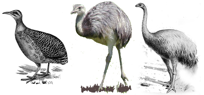 Despite many similarities, biologists did not consider the rhea to be a close relative of the tinamou, which also lives in South America, as the tinamou can fly, but the rhea cannot.  But DNA comparisons are forcing evolutionists to dramatically rethink the origin of flightless birds—even linking New Zealand's moa to the tinamou.