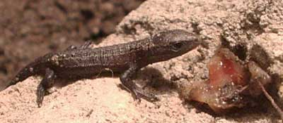 The Australian lizard Saiphosequalis has the capacity for oviparity and viviparity. 