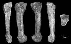 Several views of the 4th metatarsal of afarensis found. Note how minimal the curvature is.
