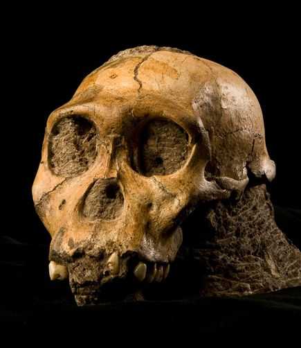 A reanalysis of Australopithecus sediba still shows that it is not an apeman or missing link but likely to be another variety of australopithecine.