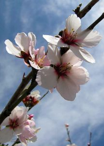 8991-almond-flower