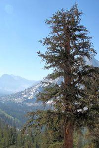 8991-pine