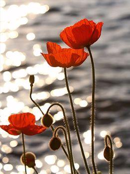 8991-poppies