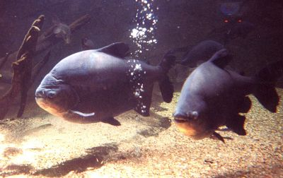 The piranha's vegetarian relatives, known as pacus.