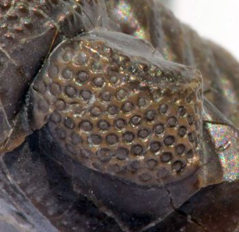 This multi-lens eye of the trilobite Phacops rana is evidence for creation rather than for evolution.