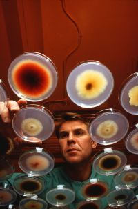 A scientist inspecting bacterial cultures growing in petri dishes