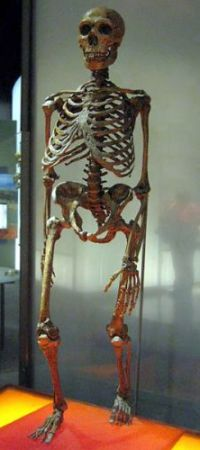Despite some slight differences in their shape, and allowing for the evolutionary bias in many of the reconstructions (walking with both knees  bent, as here, makes them appear more ape-like, but this is an incredibly inefficient and unlikely mode of locomotion), Neandertal skeletons are very similar to 'modern  humans'.  Evolutionists such as Professor Chris Stringer (referred to in article) who want to portray Neandertals as inferior to 'modern humans' would do well  to consider this: Neandertals had stronger bones, larger muscles, better teeth, bigger brains, greater average height (than the modern worldwide average), and with their bigger  eyes, are now said by Stringer and his colleagues to have had better eyesight in the dark. Exactly who was superior to whom?