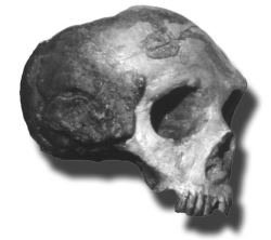 The Neandertal Gibraltar 1 cranium was found in Forbes' Quarry, Gibraltar, prior to 1948, and is said to be the first adult Neandertal 