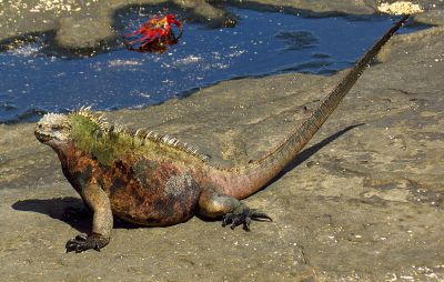 Marine iguana on Santiago island