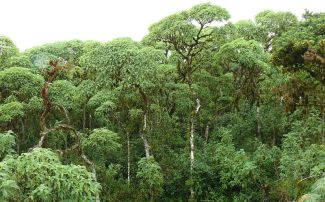 Scalesia trees on Santa Cruz island