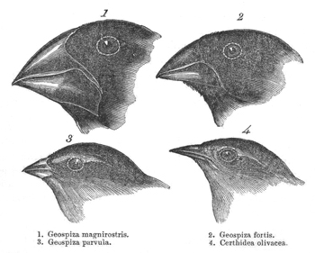 Darwin's drawings of four finch beaks from his Journal of Researches 2nd ed., 1845, p. 379. Modern long-term research has established that the beak size within the species changes as the food supply changes.