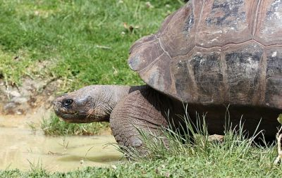 A short-necked, dome-backed, giant Galápagos tortoise