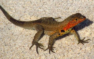 Male lava lizards do push-ups to establish their territory and attract females.
