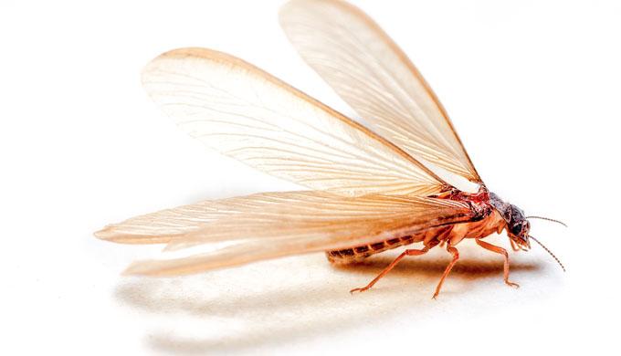 Charles Darwins termites