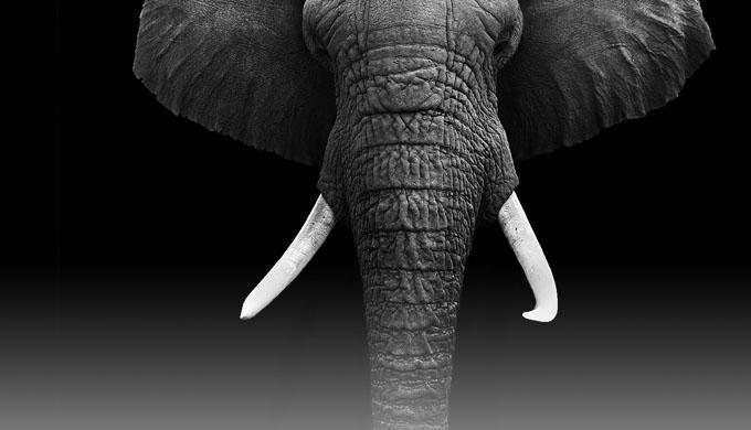4586300917a Elephants losing tusks - creation.com