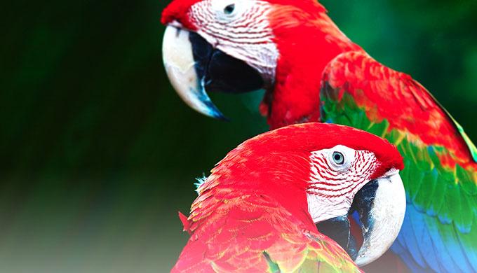 Загадка о попугаях