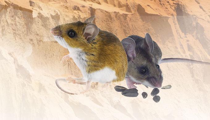 Bělonohé myši z Nebrasky—nejnovější 'ikona' evoluce?