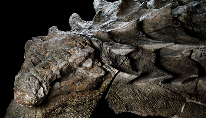 Fossilized dinosaur retains its shape