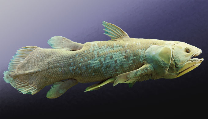 Coelacanth does not walk