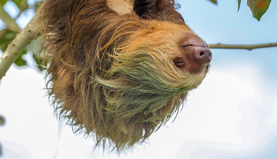 The sloth: Slowest mammal on Earth