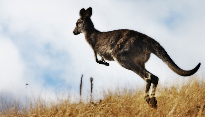 Australia's amazing kangaroos and the birth of their young
