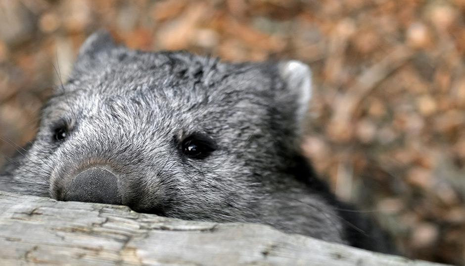 The wombat