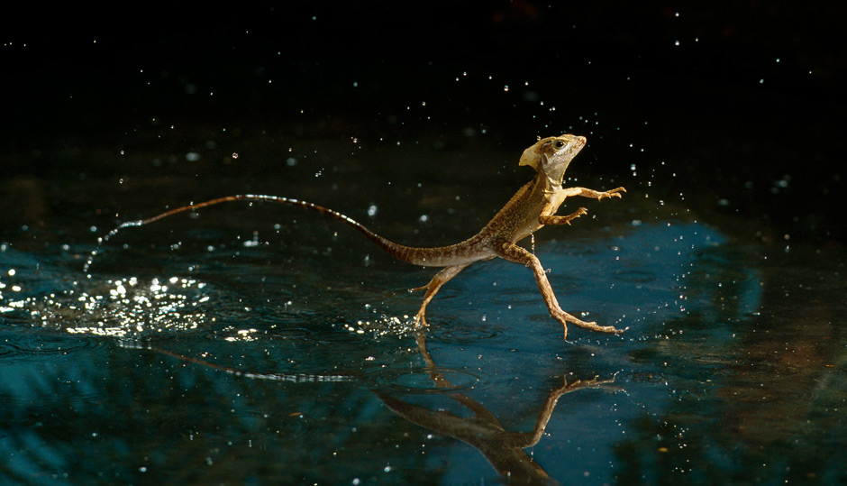 Water walking lizard