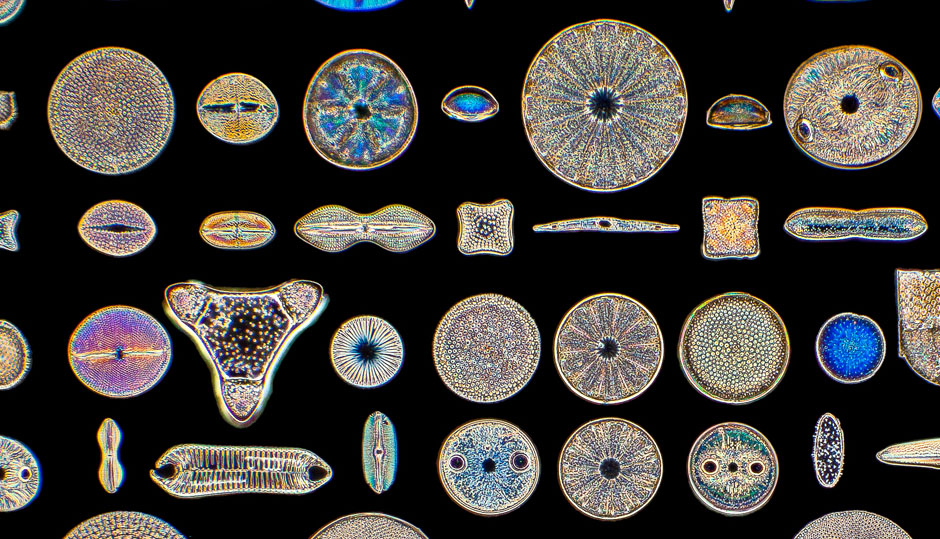 Diatoms: artistry in miniature